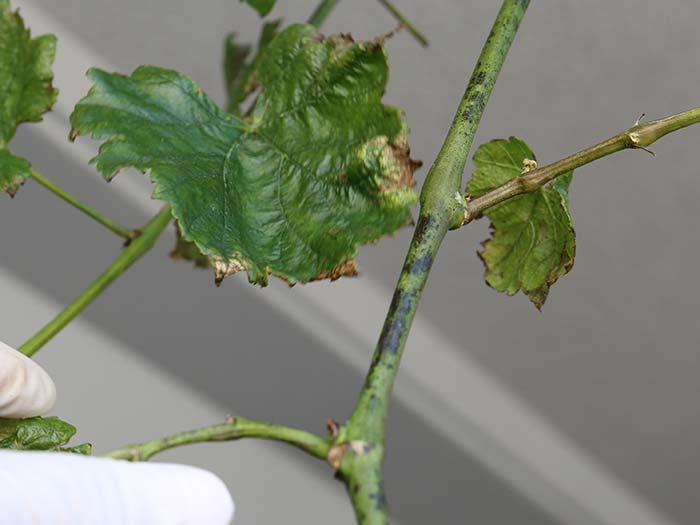 茎が黒くなってる病気