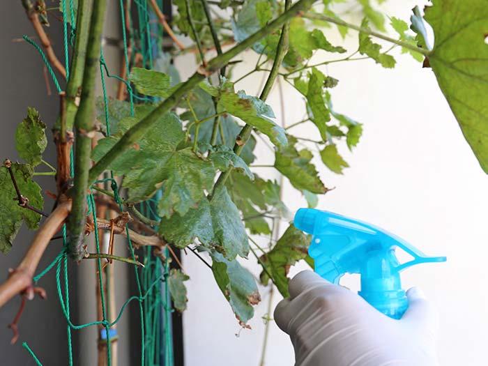 葉の表側に農薬をスプレー