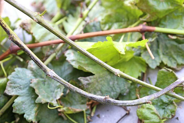 病気がひどい葉を撤去