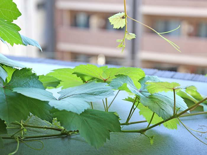 艶やかで綺麗な瀬戸ジャイアンツの葉