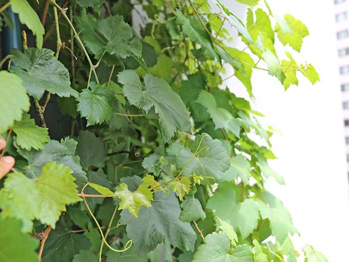 葉が茂った瀬戸ジャイアンツ