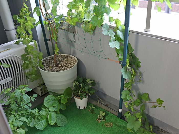 台風に備えてブドウのツルをベランダの内側へ