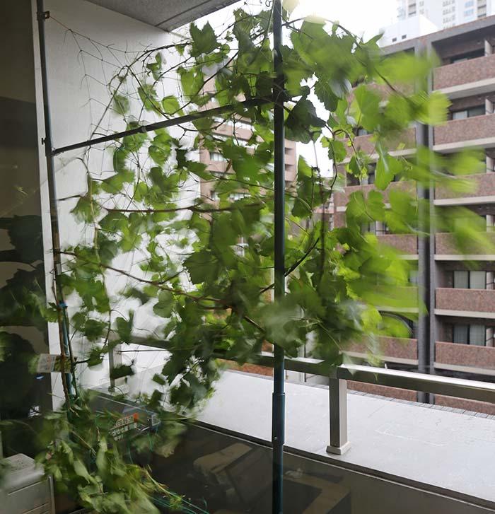 強風で揺れるブドウの枝と葉