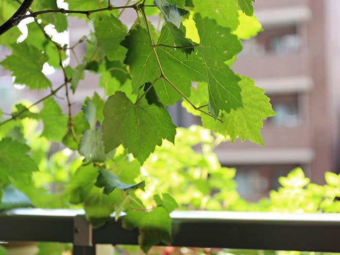 光を透過する瀬戸ジャイアンツの葉