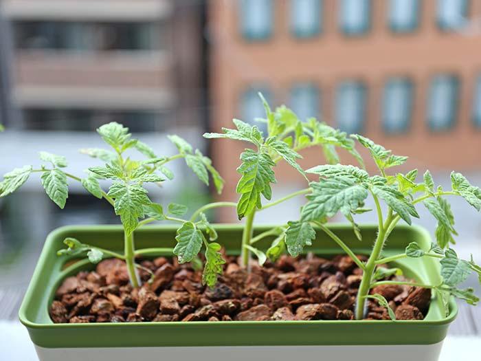 プチトマトの苗の生育状態