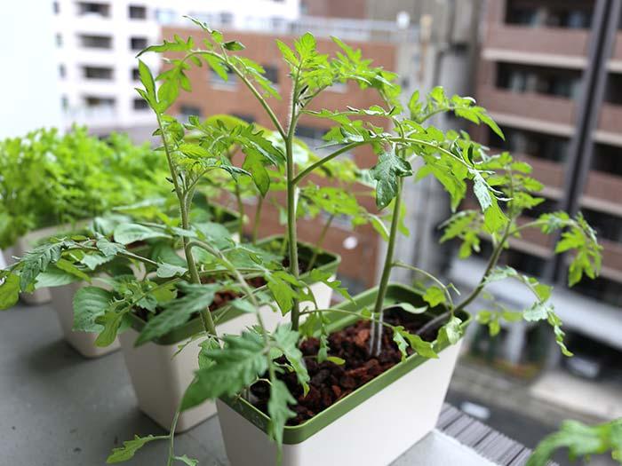 曇天でも成長していくトマト