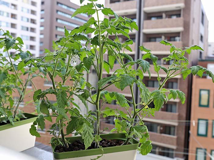 背が高くなったミニトマト