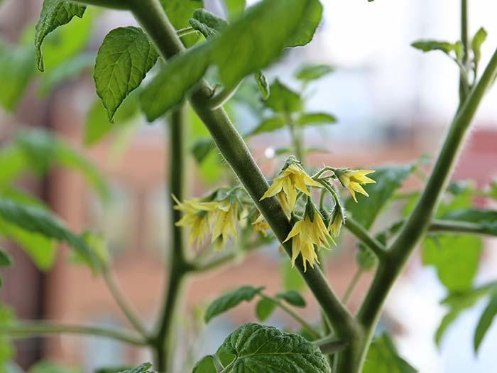 本格的に咲き始めたトマトの花