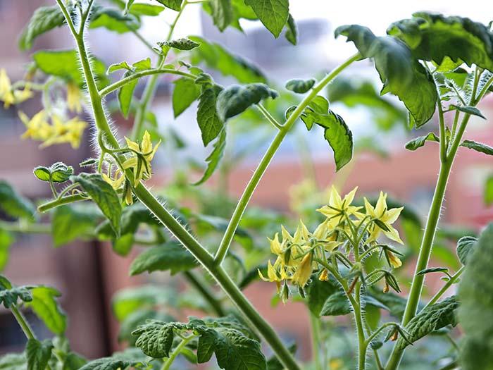 次々と咲き乱れるトマトの花