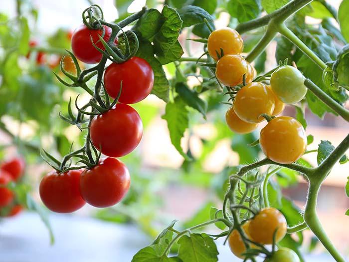 おいしそうに実ったトマト