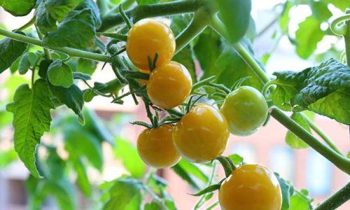 プチプヨイエローのトマトの実