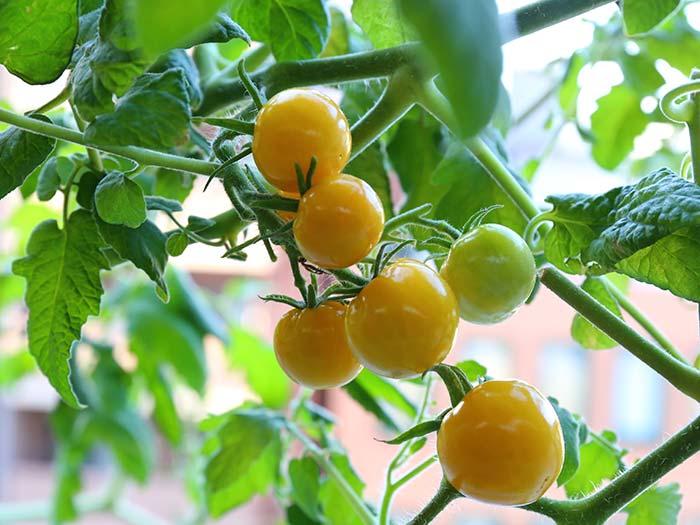 プチぷよイエローの育て方!黄色くてかわいいミニトマトを育てる方法
