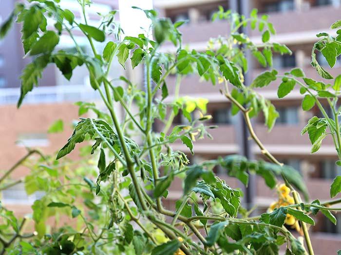 収穫後も成長するトマト