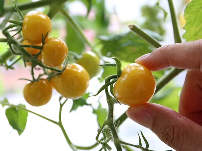 プチプヨイエローの収穫