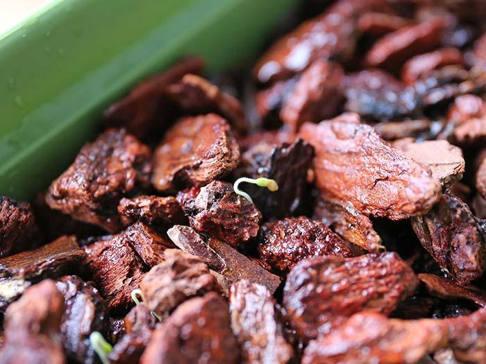発芽したマイクロトマトの種