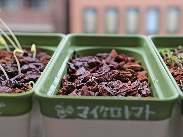 とても小さいマイクロトマトの芽