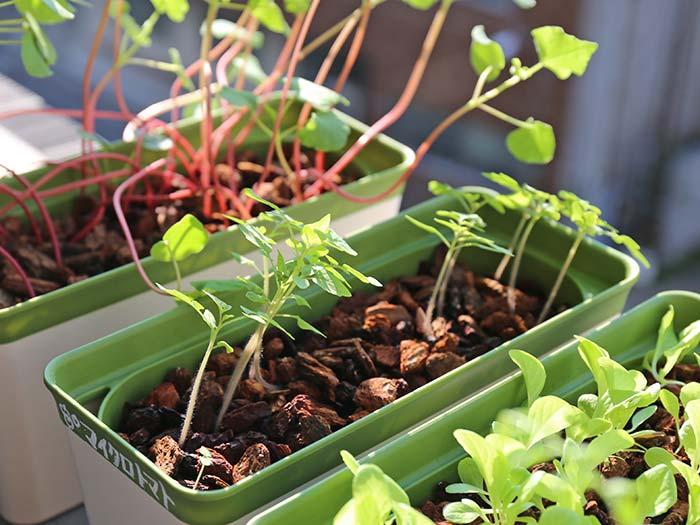 朝日を浴びるマイクロトマトの苗