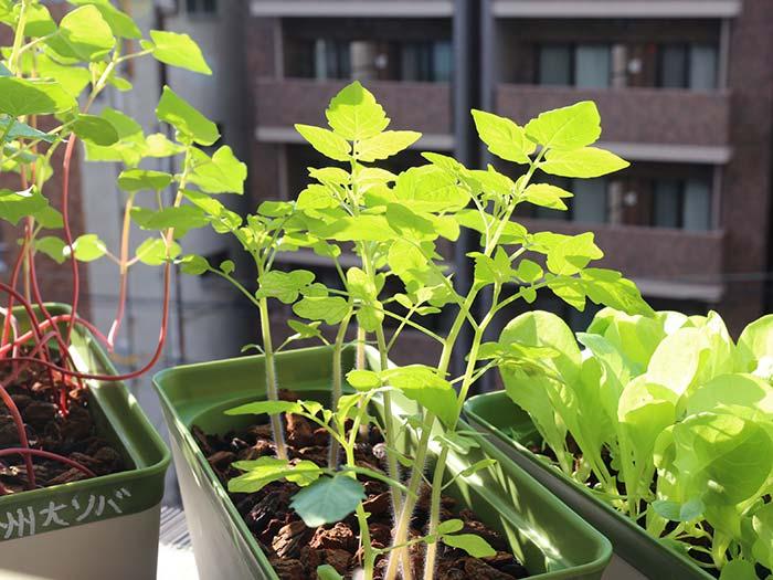 綺麗に光を通すマイクロトマトの葉