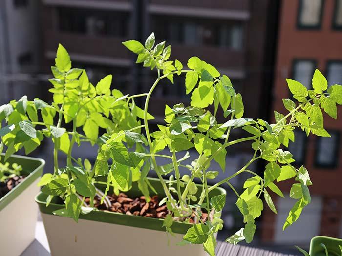 大きく育ったマイクロトマトの苗