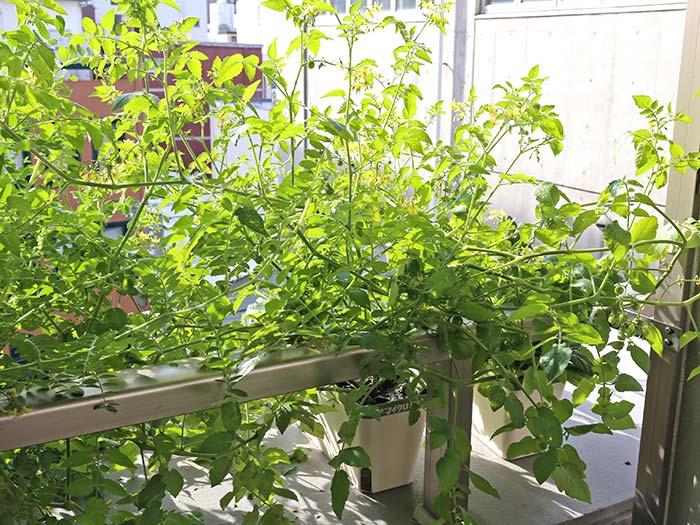 茂りまくりのマイクロトマト