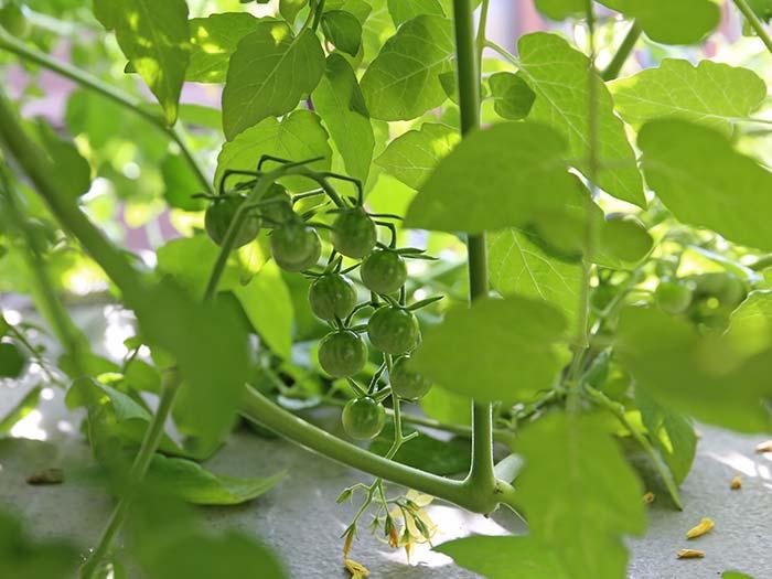 大きくなってきたトマトの実
