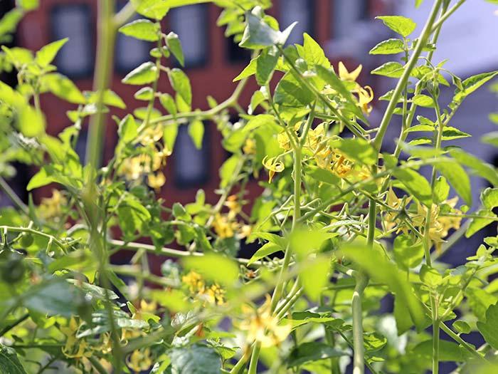 マイクロトマトの花が咲きまくり