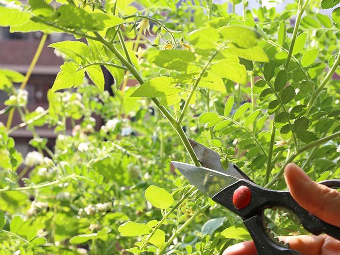 マイクロトマトの摘心と剪定