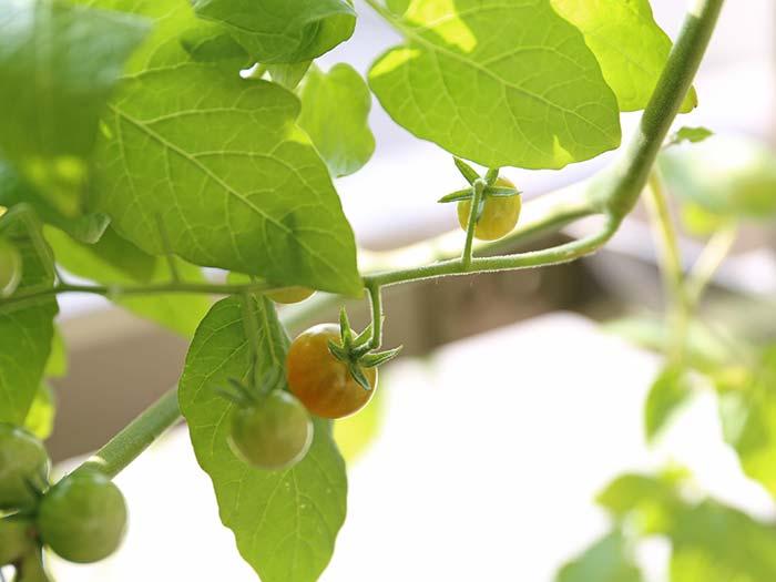 色づき始めたマイクロトマト