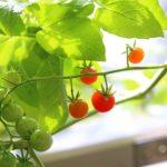 秋冬でもできるトマトの栽培方法!マイクロトマトの育て方