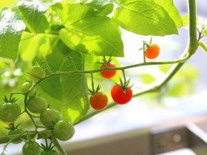 熟したマイクロトマトの実
