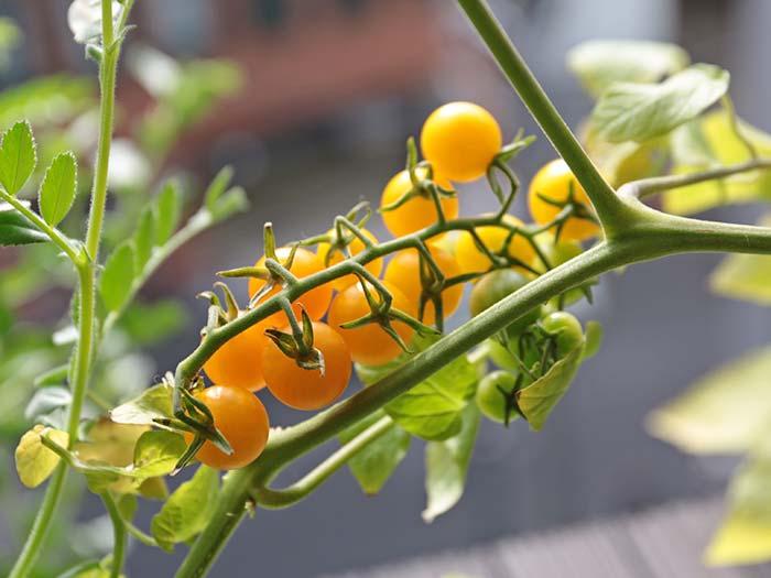黄色いマイクロトマト