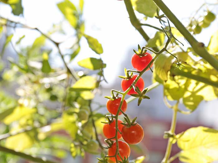 真冬に実ったトマト