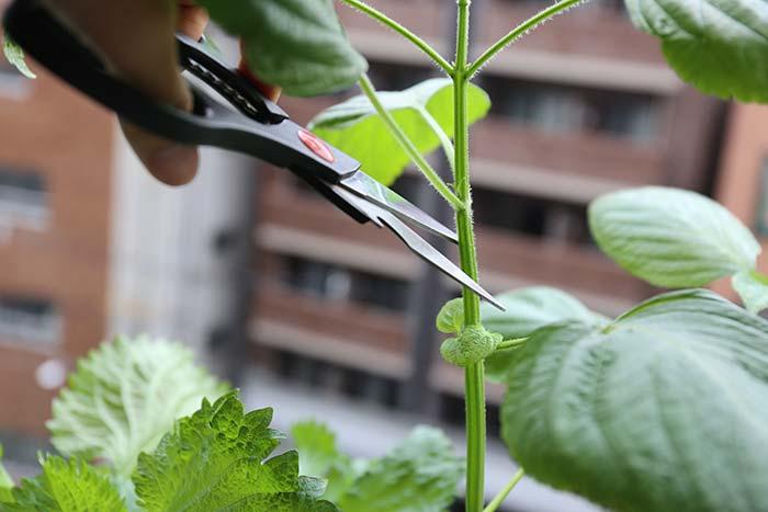 伸びすぎないように茎を切り戻し
