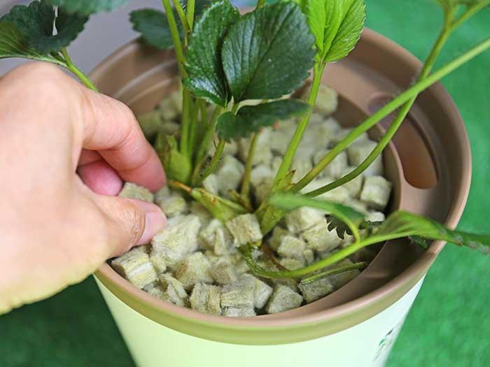 イチゴをスポンジキューブで植えこむ
