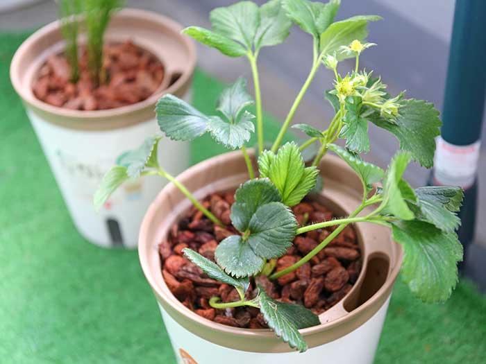 スポンジ水耕栽培化したイチゴ