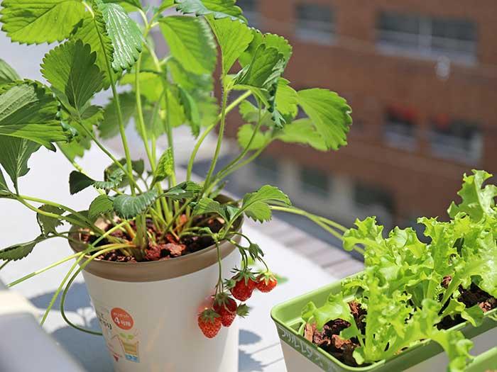 土を使わないイチゴ栽培