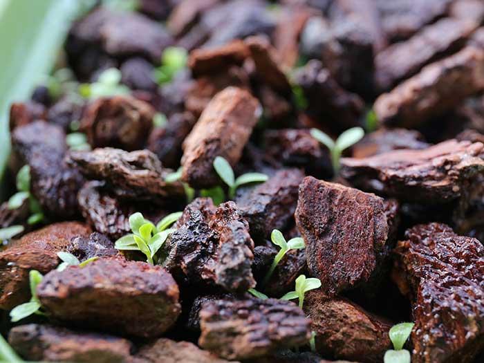 発芽したリーフレタスの芽