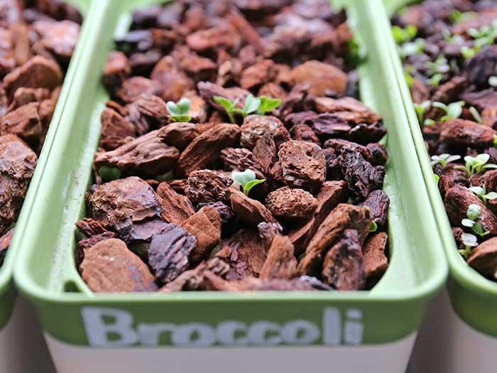茎ブロッコリーの発芽