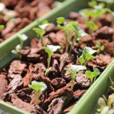 元気に育つ茎ブロッコリー