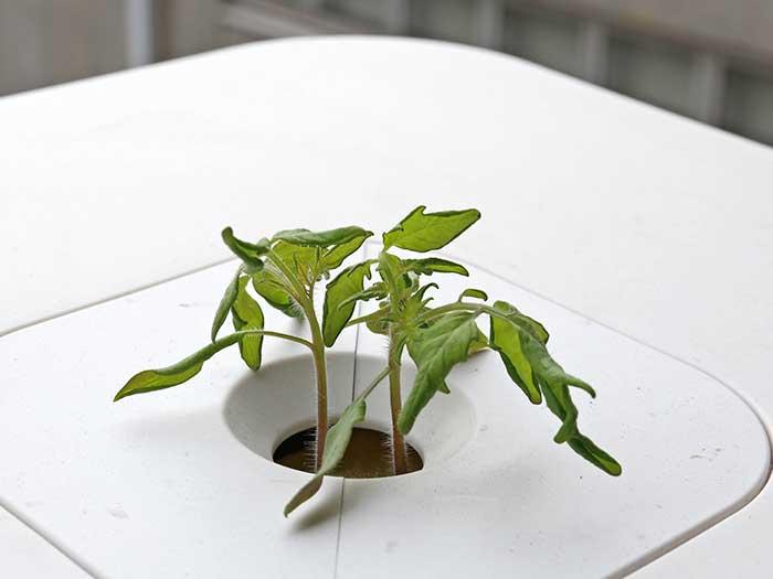 大きくなってきたトマトの苗