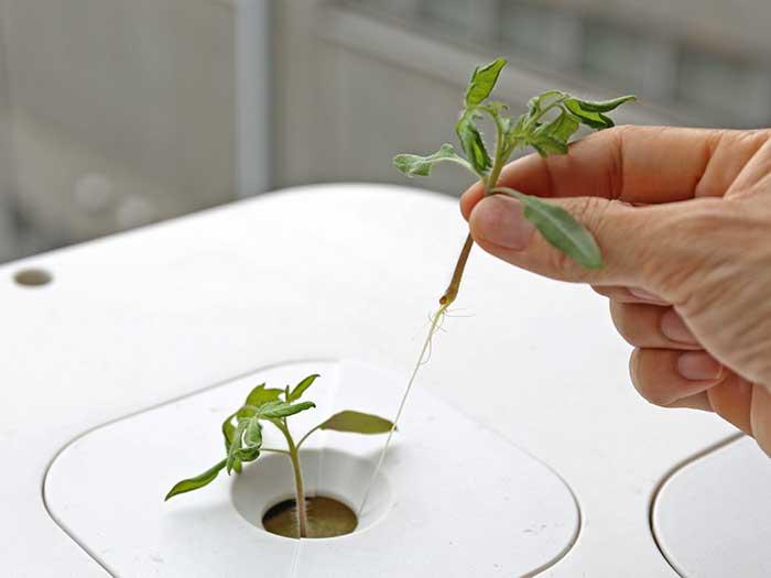 トマトの苗の間引き