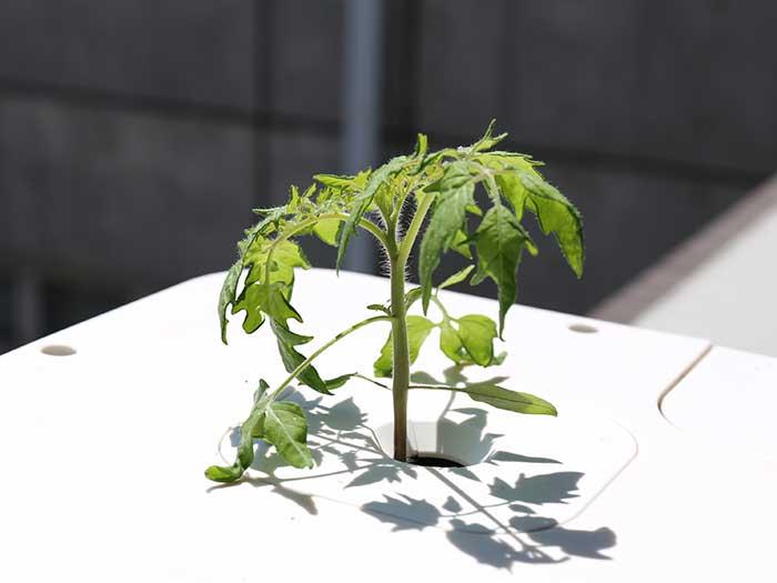 日差しを受けて輝くトマトの苗