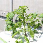 水耕栽培キットMUSCOでトマトを栽培!元気に育てるコツは日差しと水位!