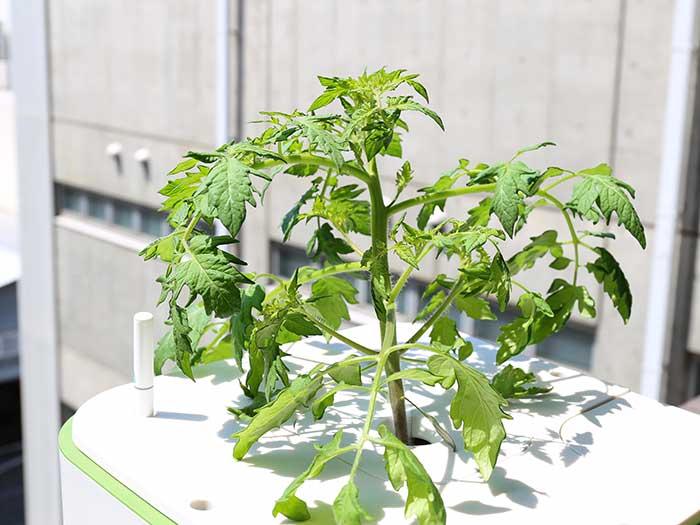 茎も太く成長したトマト