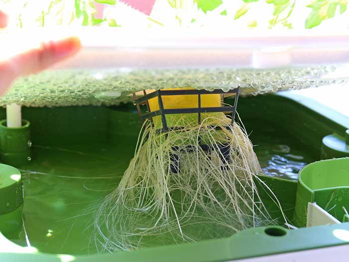綺麗に伸びてる根トマトの根