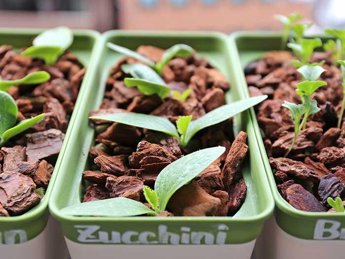 ズッキーニをほぼ水耕栽培