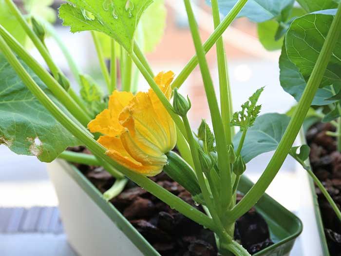ズッキーニの花