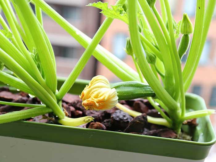 しぼんだズッキーニの花