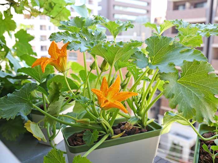 咲き乱れるズッキーニの花
