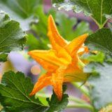 大きいズッキーニの花